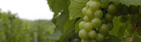 Grapes in Chateau Fontaine Vineyard