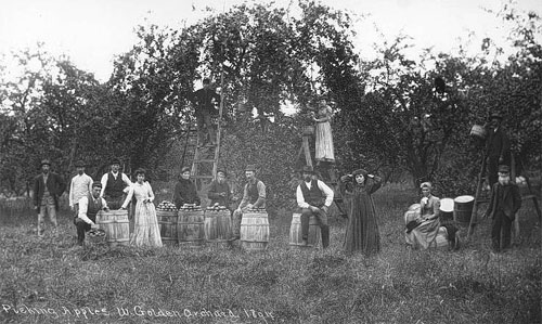 Picking Apples, W. Golden Orchard 1894
