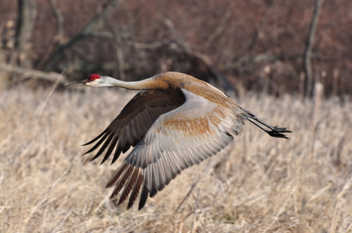 Michigan Sandhill Crane in Flight