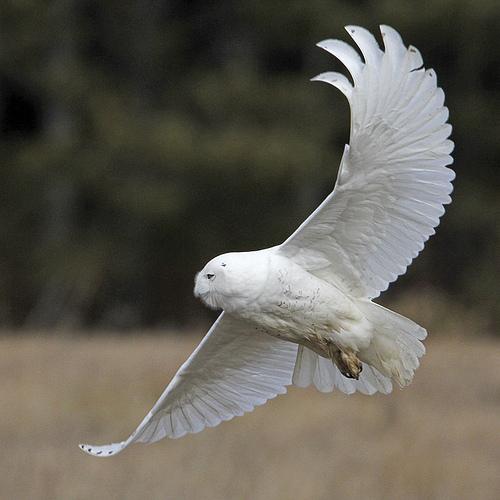 Snowy Owl (Bubo scandiacus)_0314_1