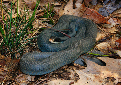 Michigan Snakes: Blue Racer (Coluber constrictor foxi ...