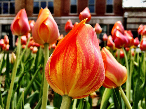early tulips in downtown Holland
