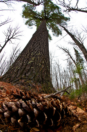 1955 : White Pine Designated Official State Tree