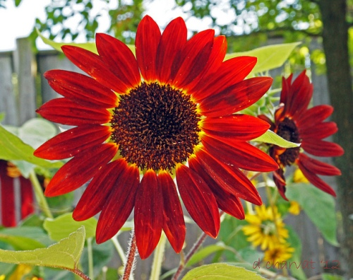 Field Of Flowers Wedding Michigan : Red sunflower michigan in pictures