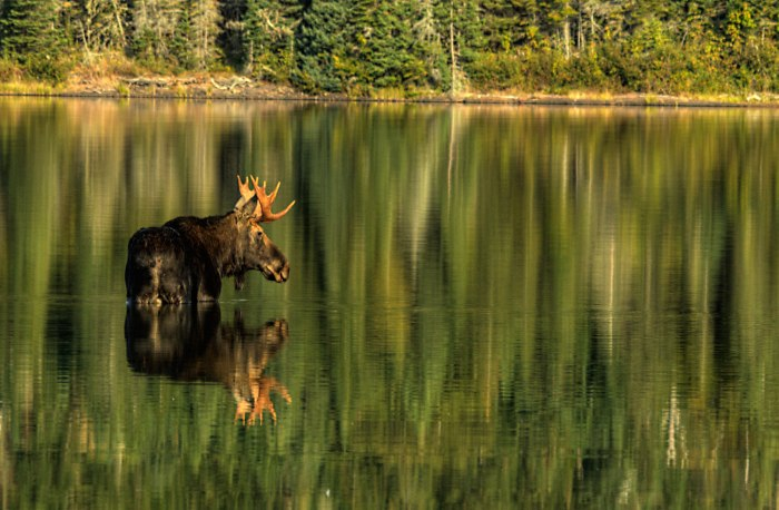 Michigan Moose Reflections