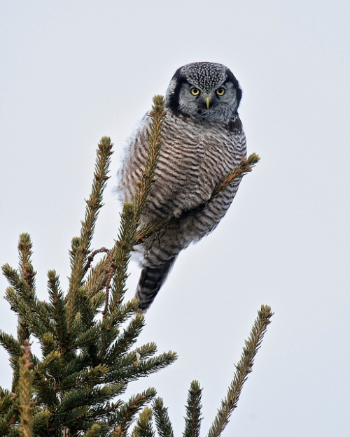northern hawk owl, chippewa county, michigan