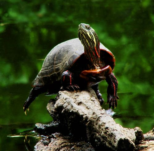 Posing Painted Turtle