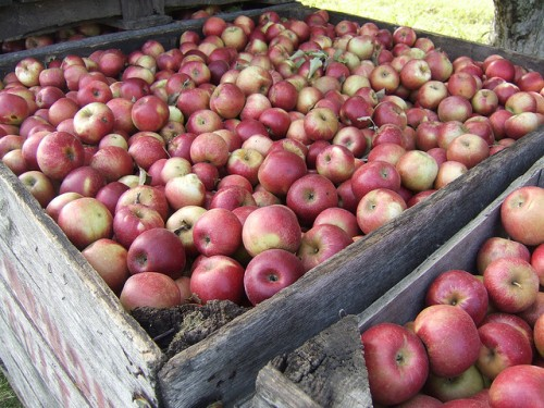 Red McIntosh apples
