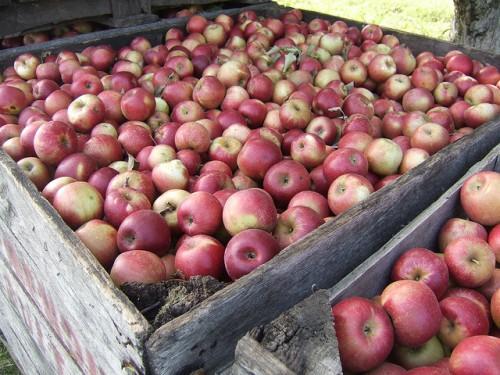Red McIntosh apples