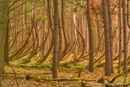 Bent tree forest ... II