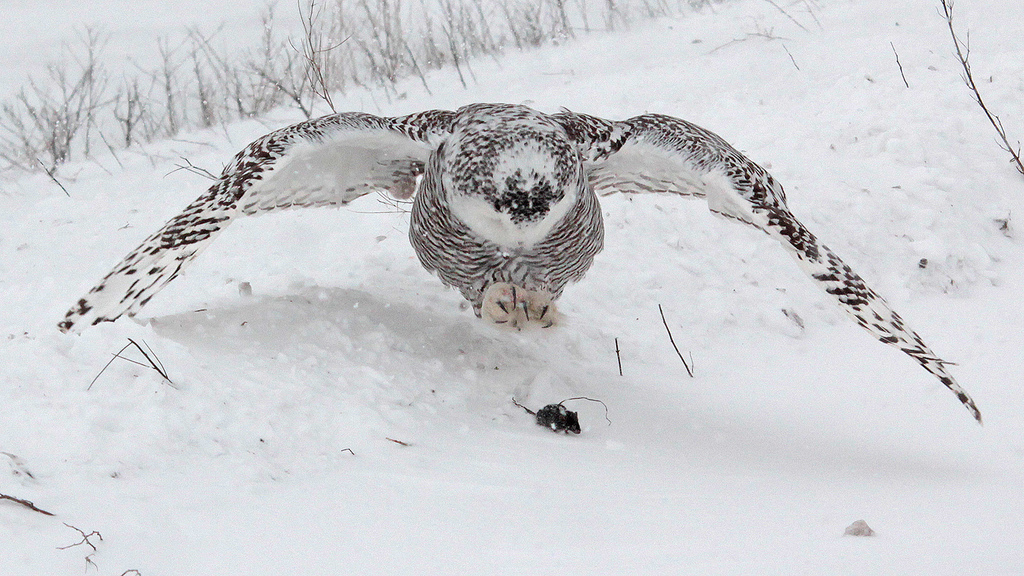 Let's Do Lunch (Snowy Owl Style) | Michigan in Pictures