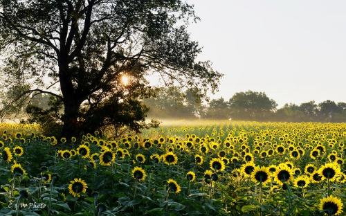 Sunflower in Fog
