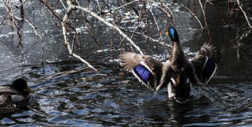 Rising Duck