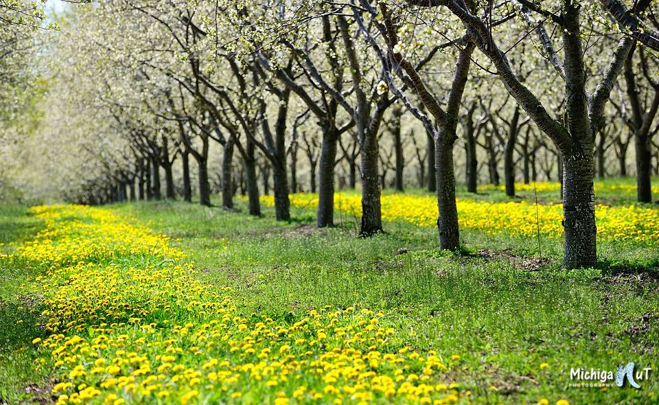 Dandelions and Cherry Trees by Michigan Nut Photography
