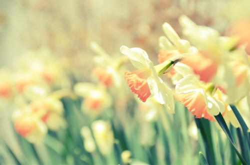 Pink Daffodils by Alissa Holland