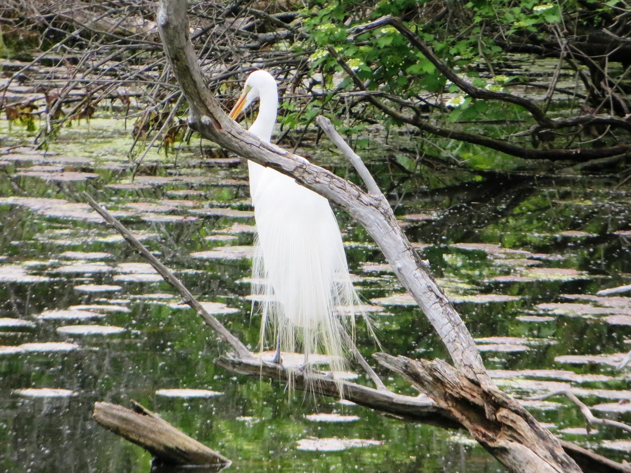 Spring Arrival Egret