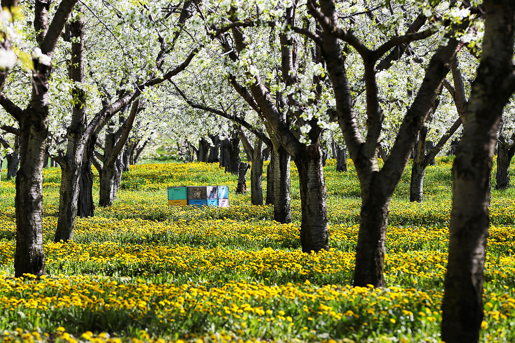 Bees and Blossoms by 45th parallel exposure