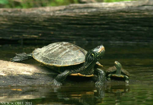 Northern Map Turtles