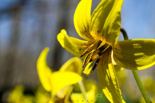 Trout lily (3 of 3)