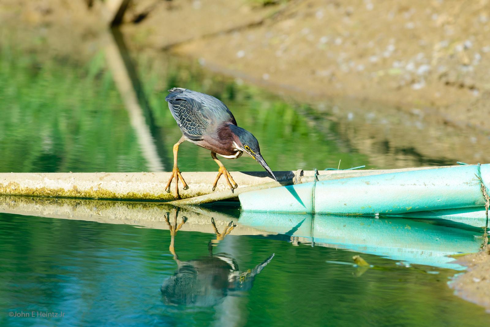 Green Heron and Frog by John Heintz