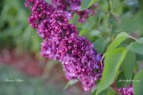 Lilacs on Mackinac Island