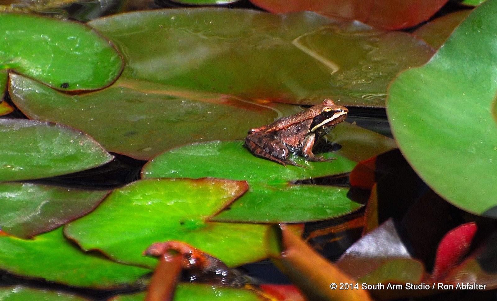 Michigan Wood Frog
