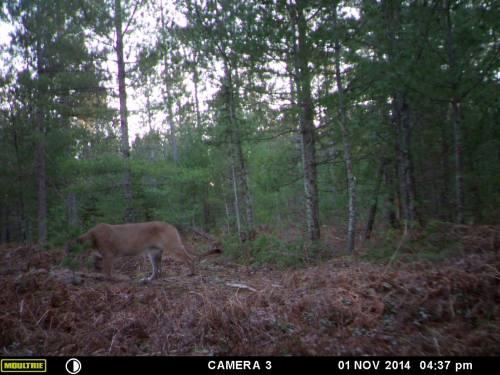 Cougar Cam