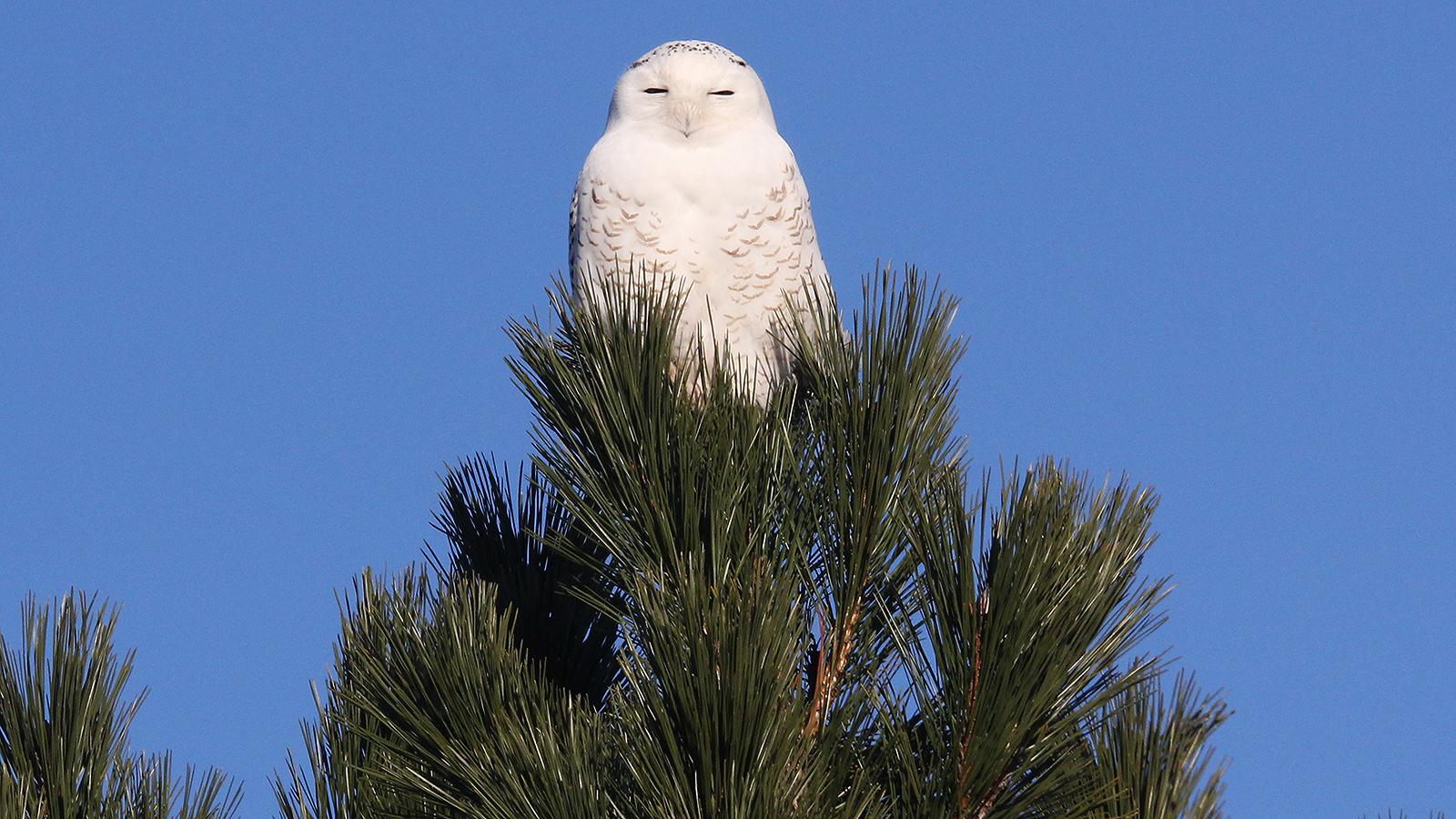 Michigan Snowy Owl Winter