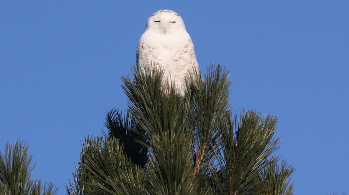 Michigan Snowy Owl Winter