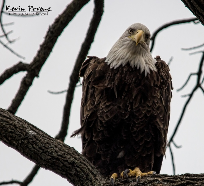 Bald Eagle by Kevin Povenz