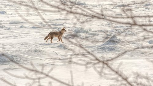 Coyote on Ice by Jakphoto