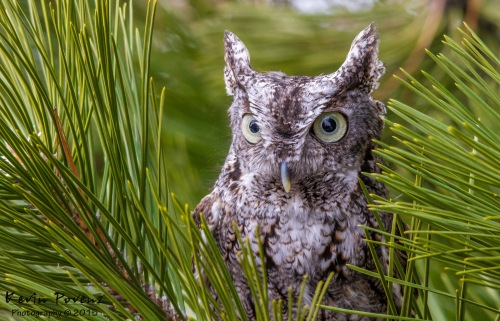 Eastern Screech Owl by Kevin Povenz