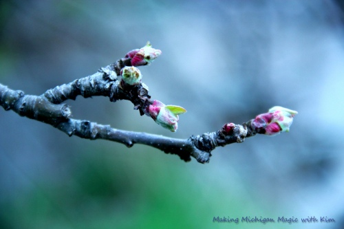 Apple Tree Budding by Kim Nixon