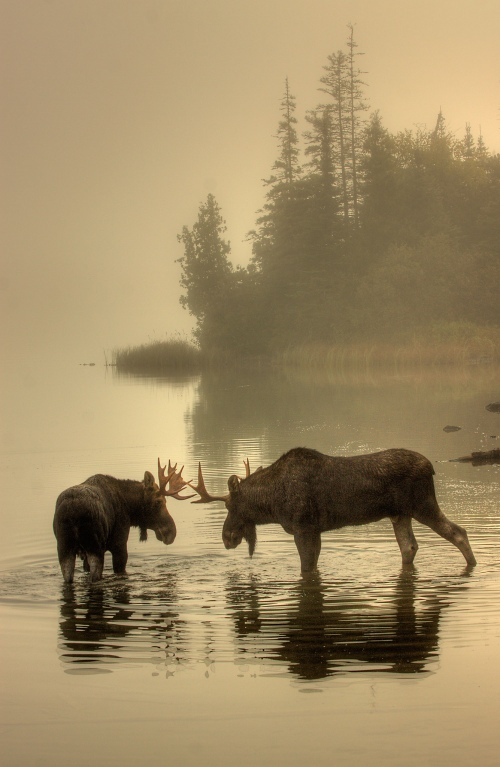 Moose Point Face-off