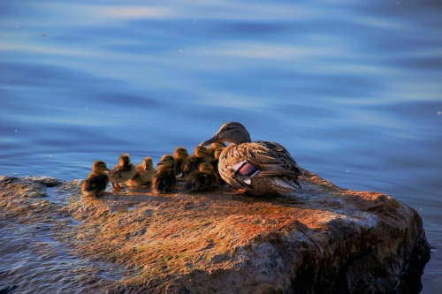 Mother and her ducklings