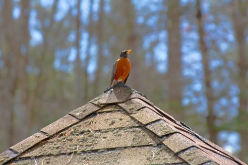 Perched Robin