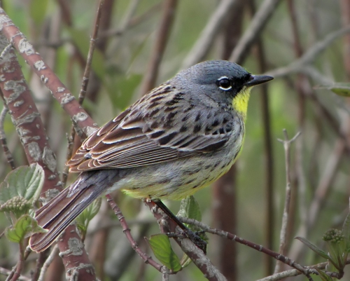 Kirtland Warbler at Tawas Point, 5-15-2010