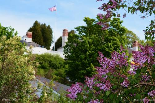 Mackinac Island Lilacs and Lilac Festival
