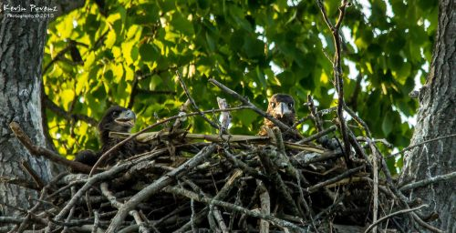 Michigan Eaglets in their Nest