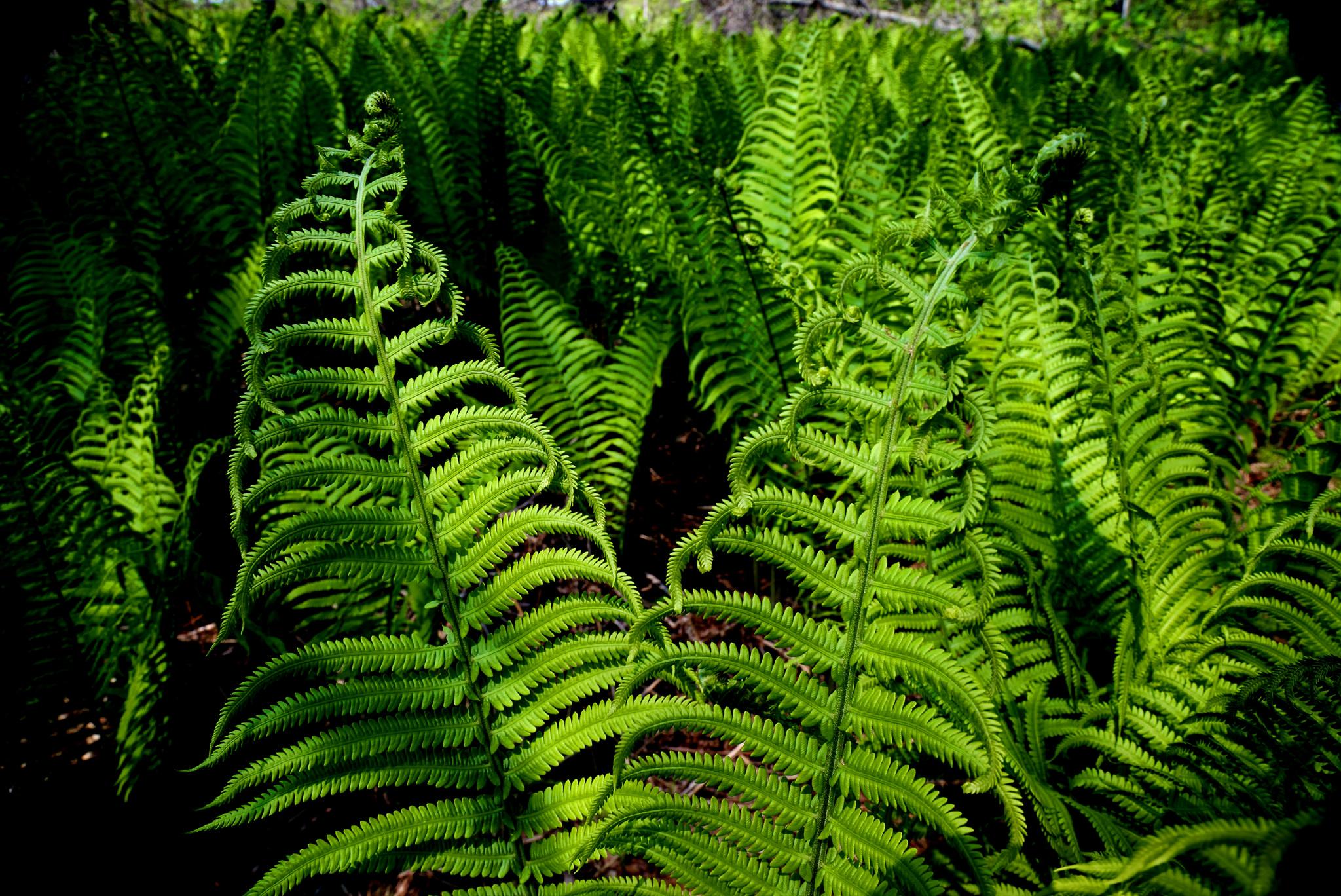 Michigan Ferns