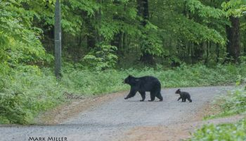 saturday morning stroll black bear in michigan