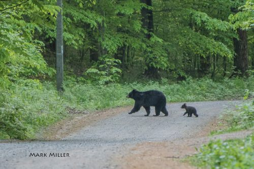Saturday Morning Stroll Michigan Black Bears
