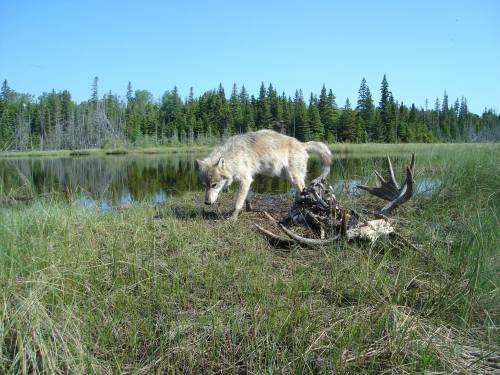 Wolf on Isle Royale