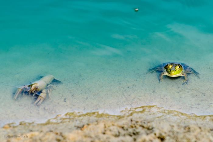 Best Friends Crayfish & Green Frog