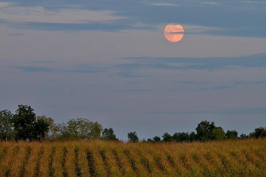 Harvest Moon over Michigan Cornfield