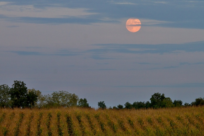 Harvest Moon over Michigan Cornfield