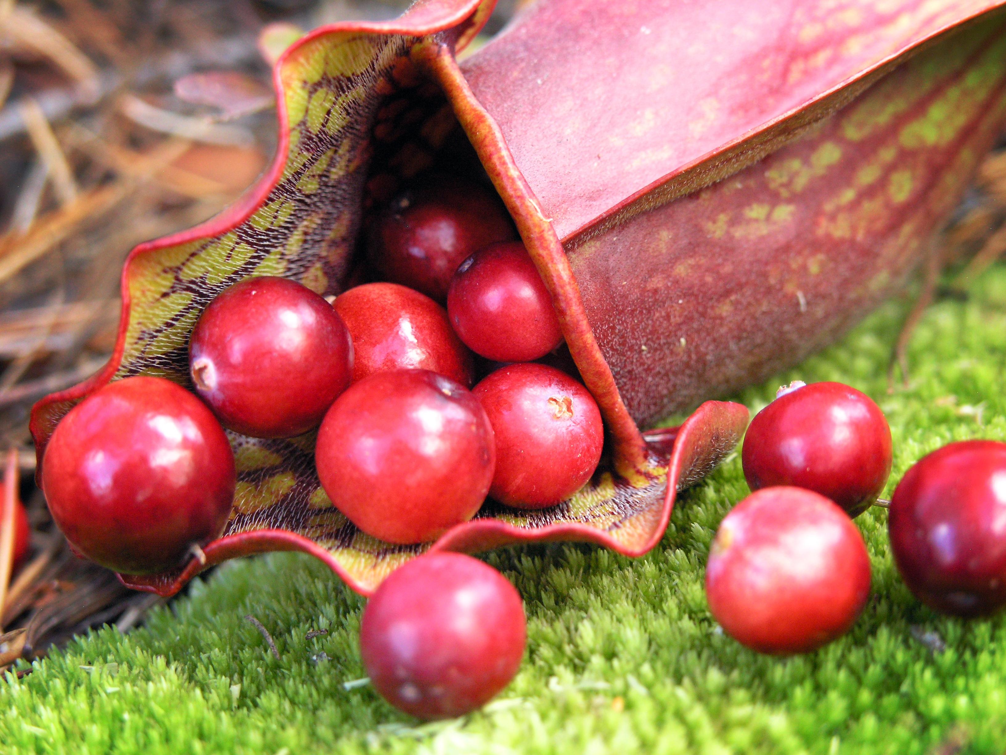 Highbush Cranberries by Blondieyooper