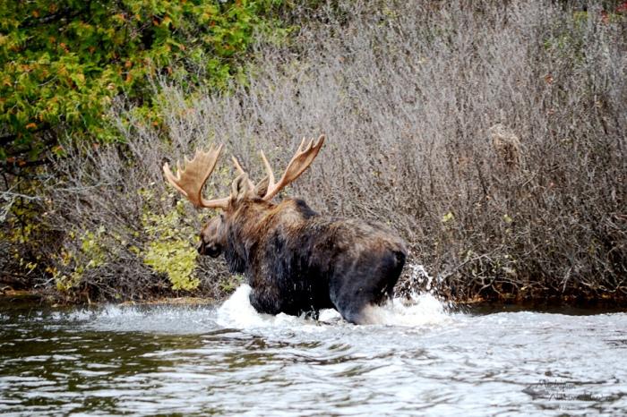 Upper Peninsula of Michigan moose