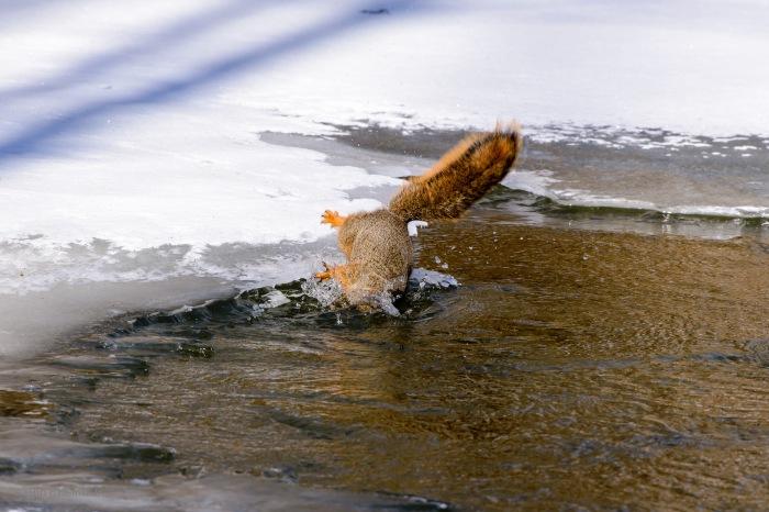 Fox Squirrel Falls in the River