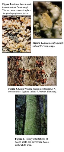 Beech Scale and Beech Bark Disease